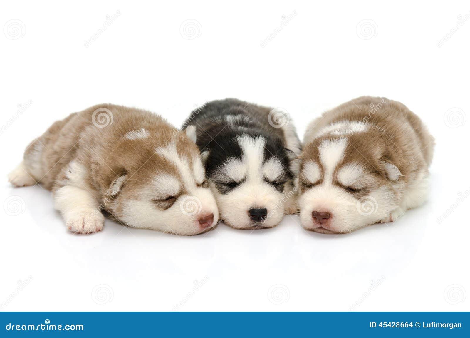 逗人喜爱的睡觉在白色背景的小狗西伯利亚爱斯基摩人