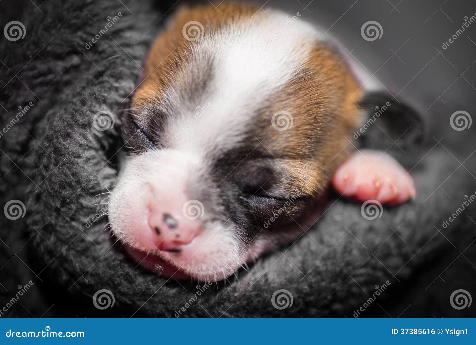 逗人喜爱小奇瓦瓦狗小狗睡觉