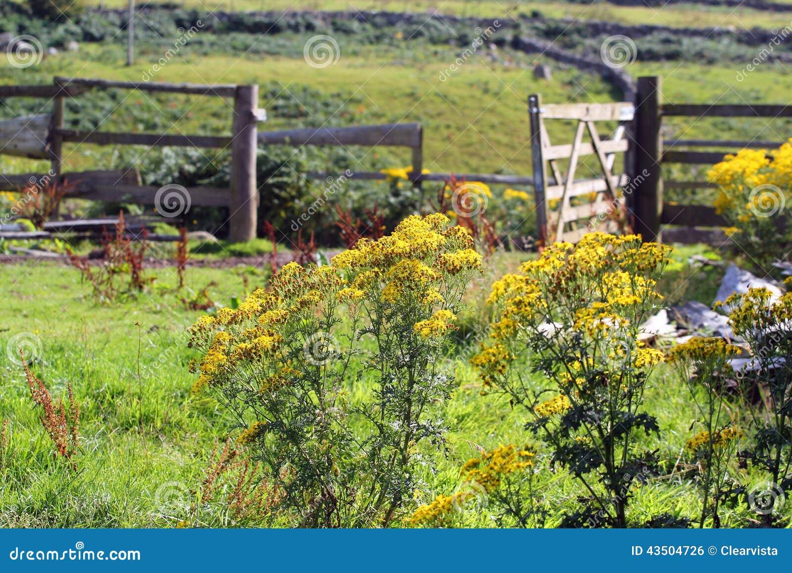 生长在农田的狗舌草 植物是毒的对马