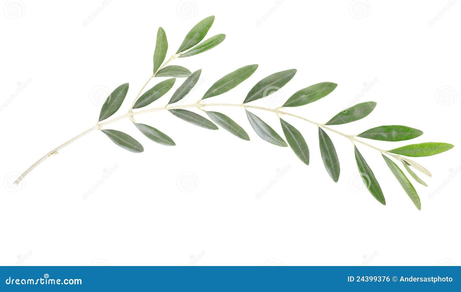 截去包括的查出的叶子橄榄色路径白色的分行图片