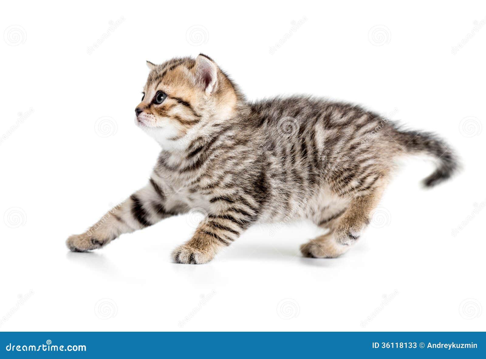 后退的小猫退缩或隔绝在白色