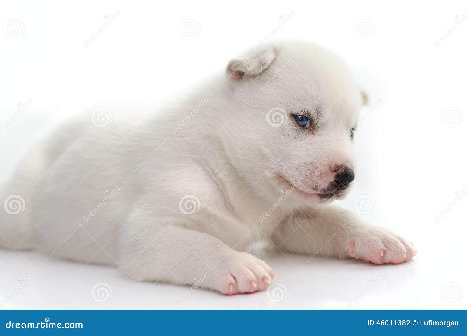 蓝眼睛白色小狗 库存照片