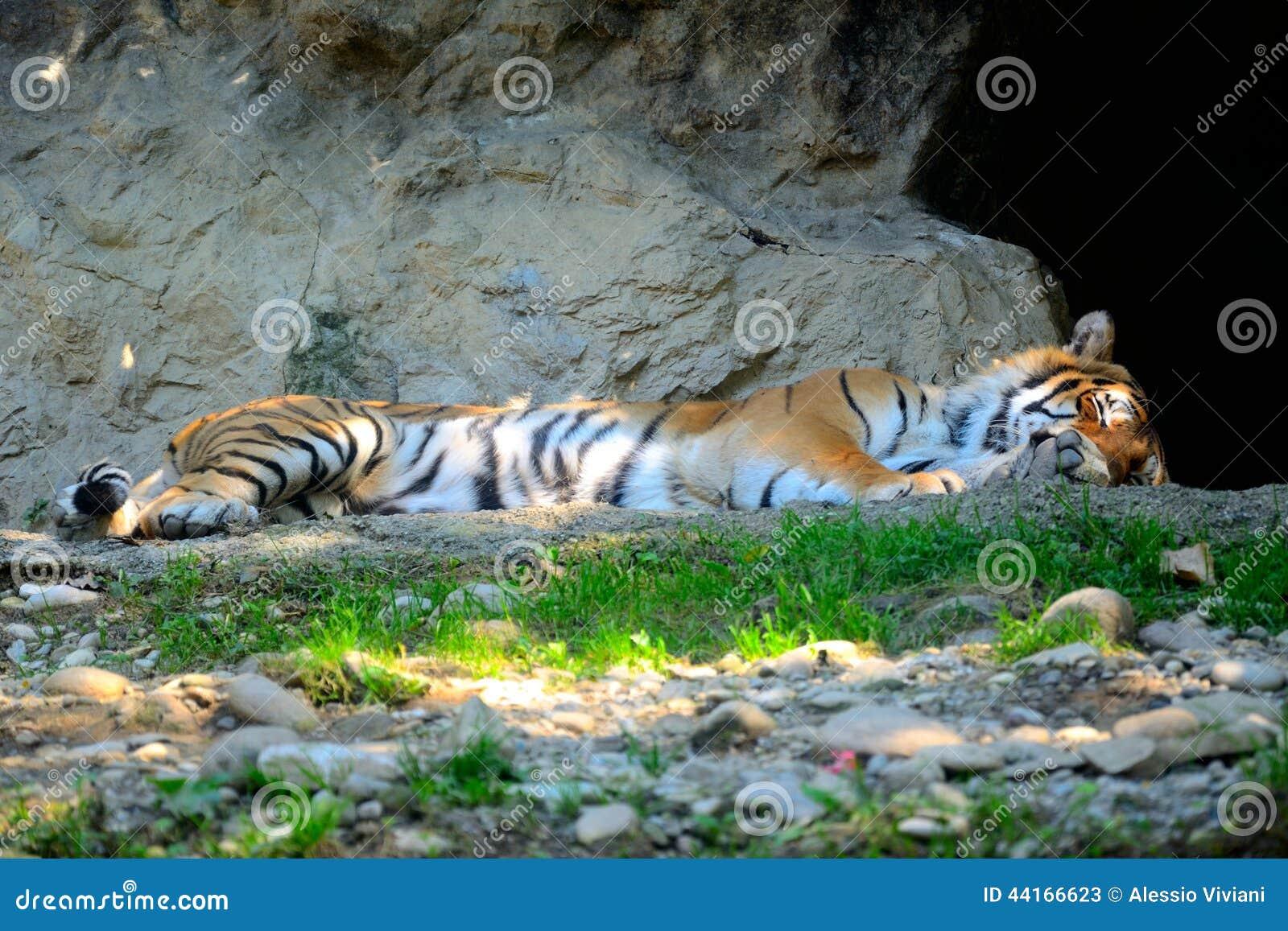 老虎睡觉 库存照片 - 图片