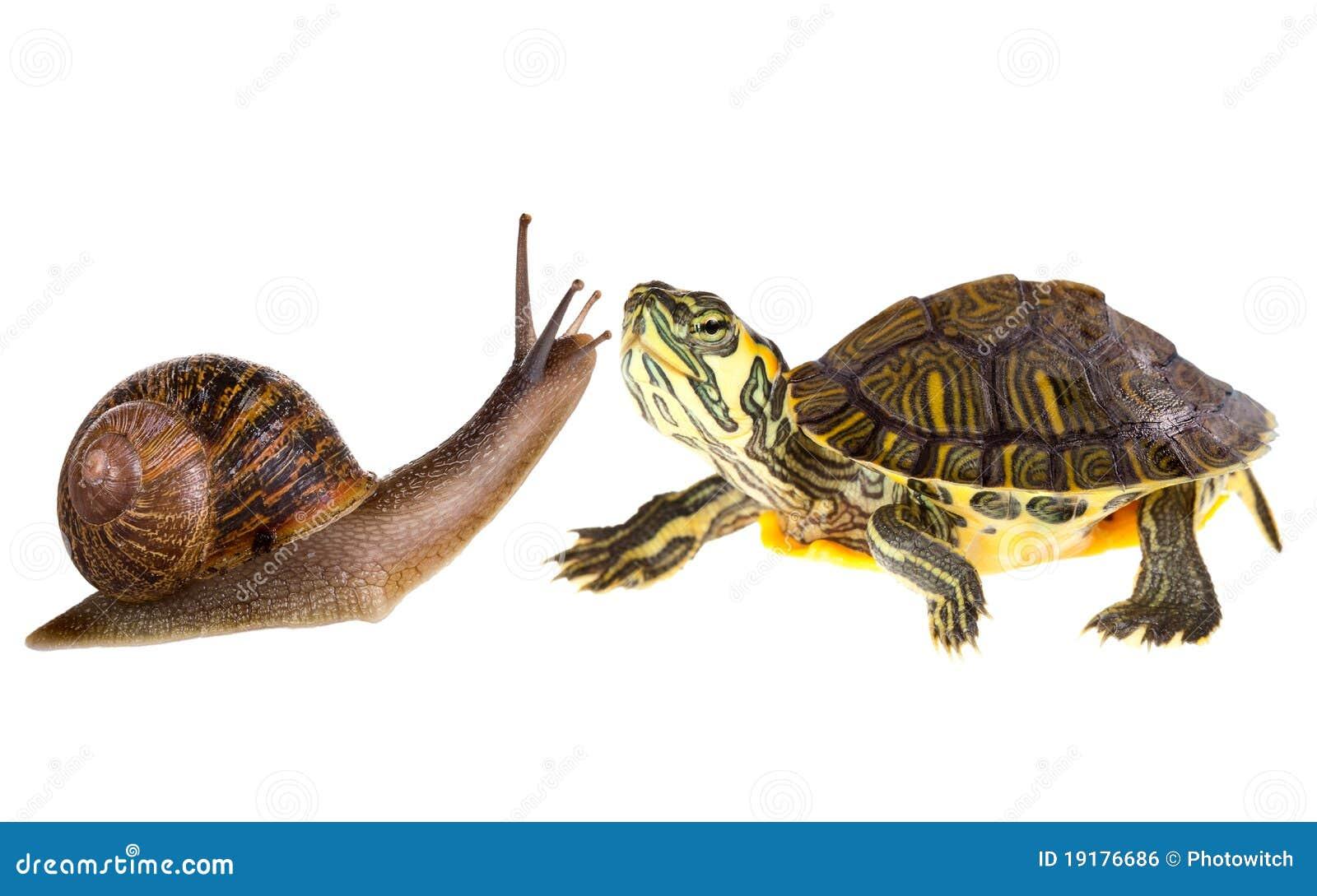 一只乌龟和蜗牛 赛跑 它们 方向 至 乌龟一直领先