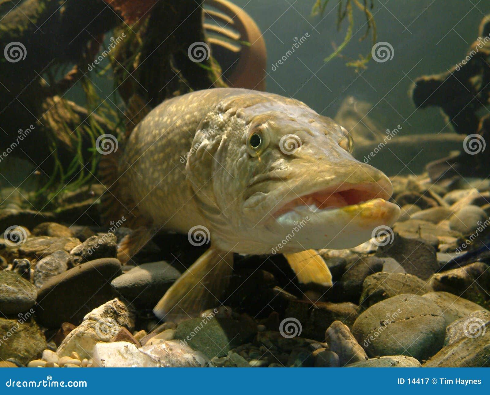 ¡A pescado!