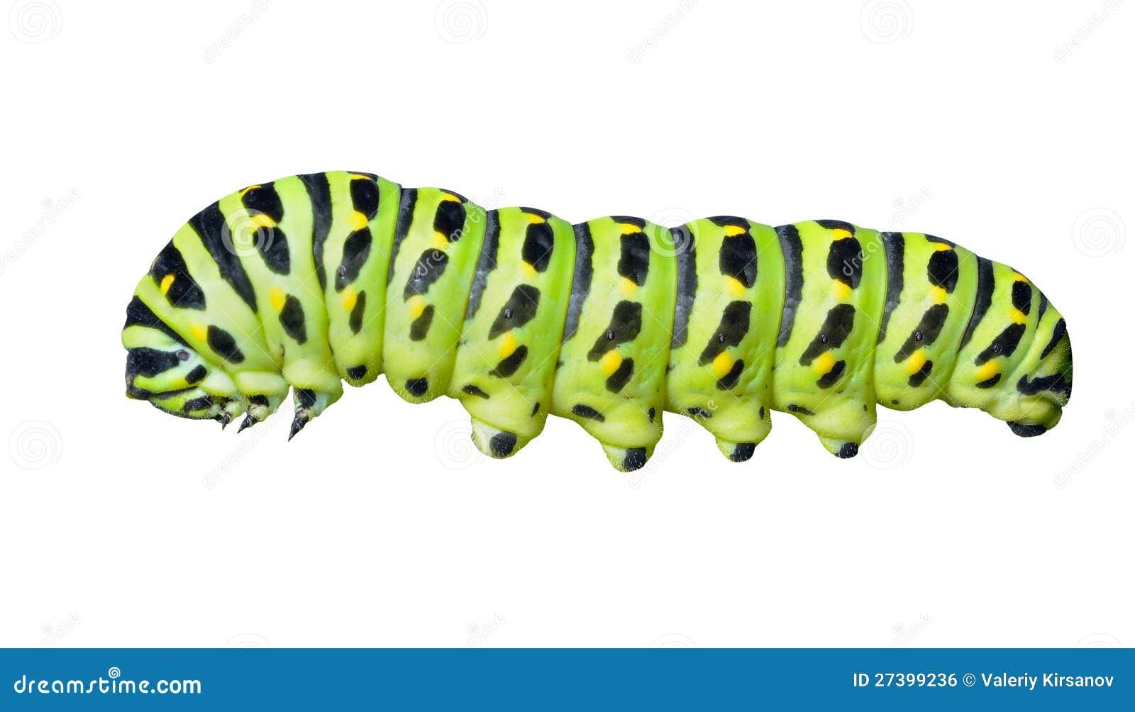 ¡De Ð aterpillar de swallowtail