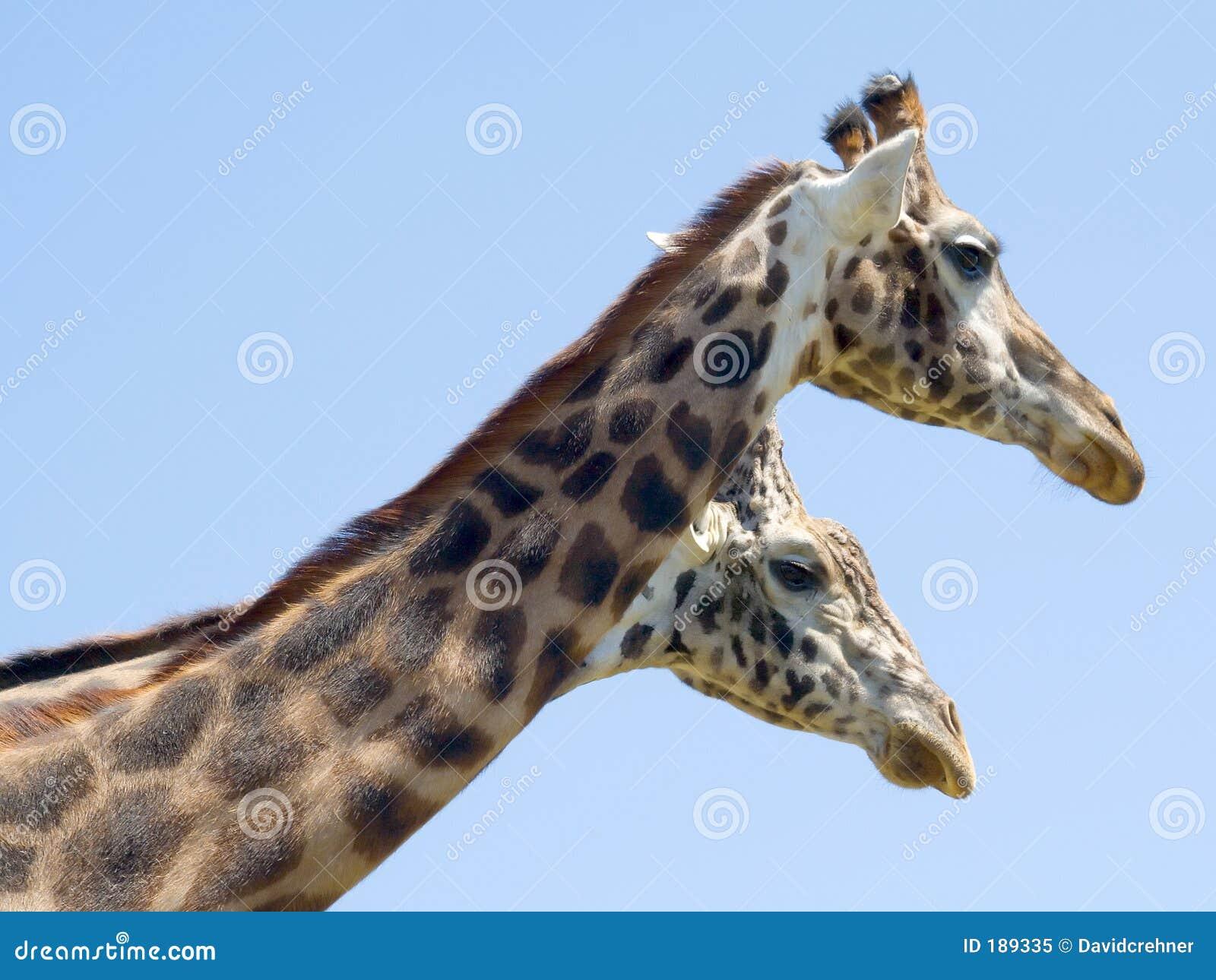 ¿Dos dirigieron la jirafa?