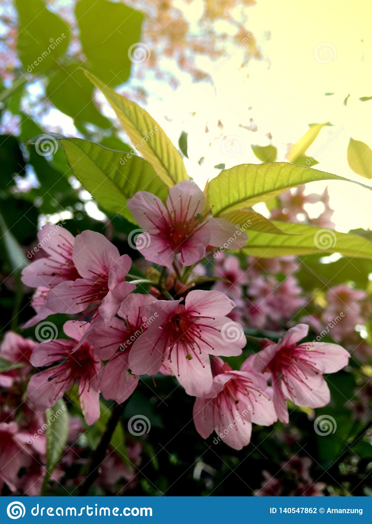 ฺBeautiful cherry blossom, Prunus cerasoides in Thailand, bright pink flowers of Sakura with soft lighting.