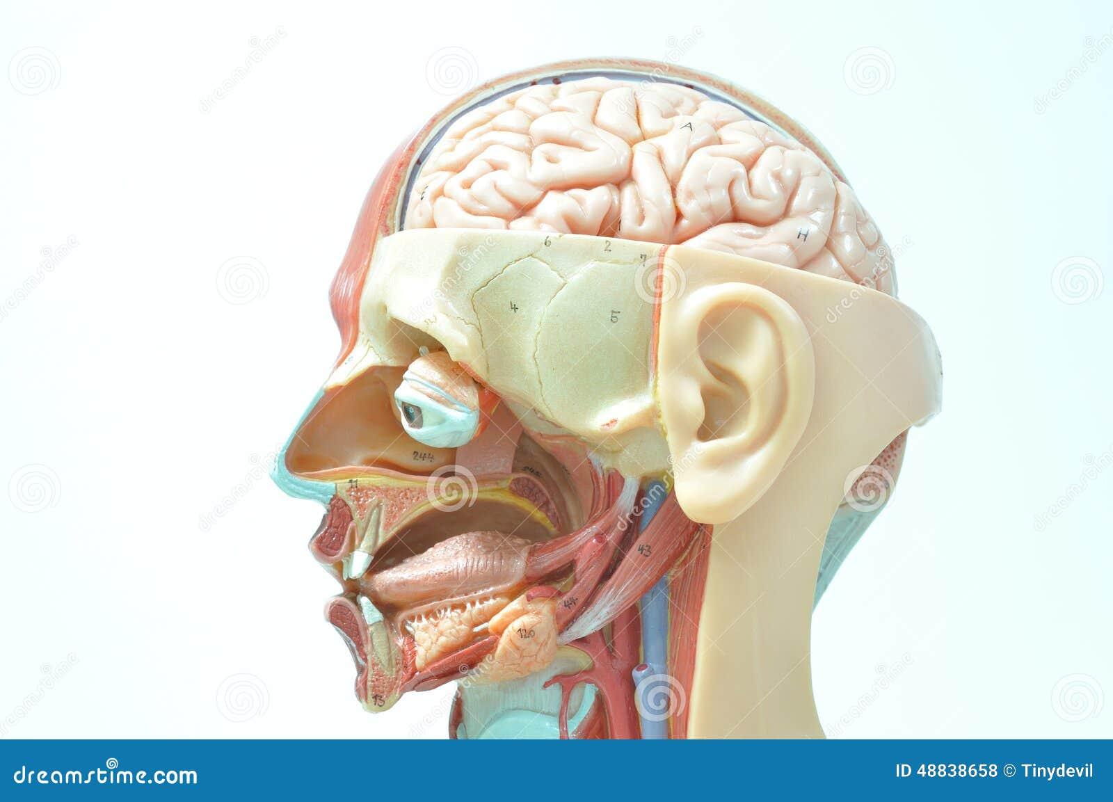 ้face Of Human Anatomy Model Stock Photo - Image of face, head: 48838658