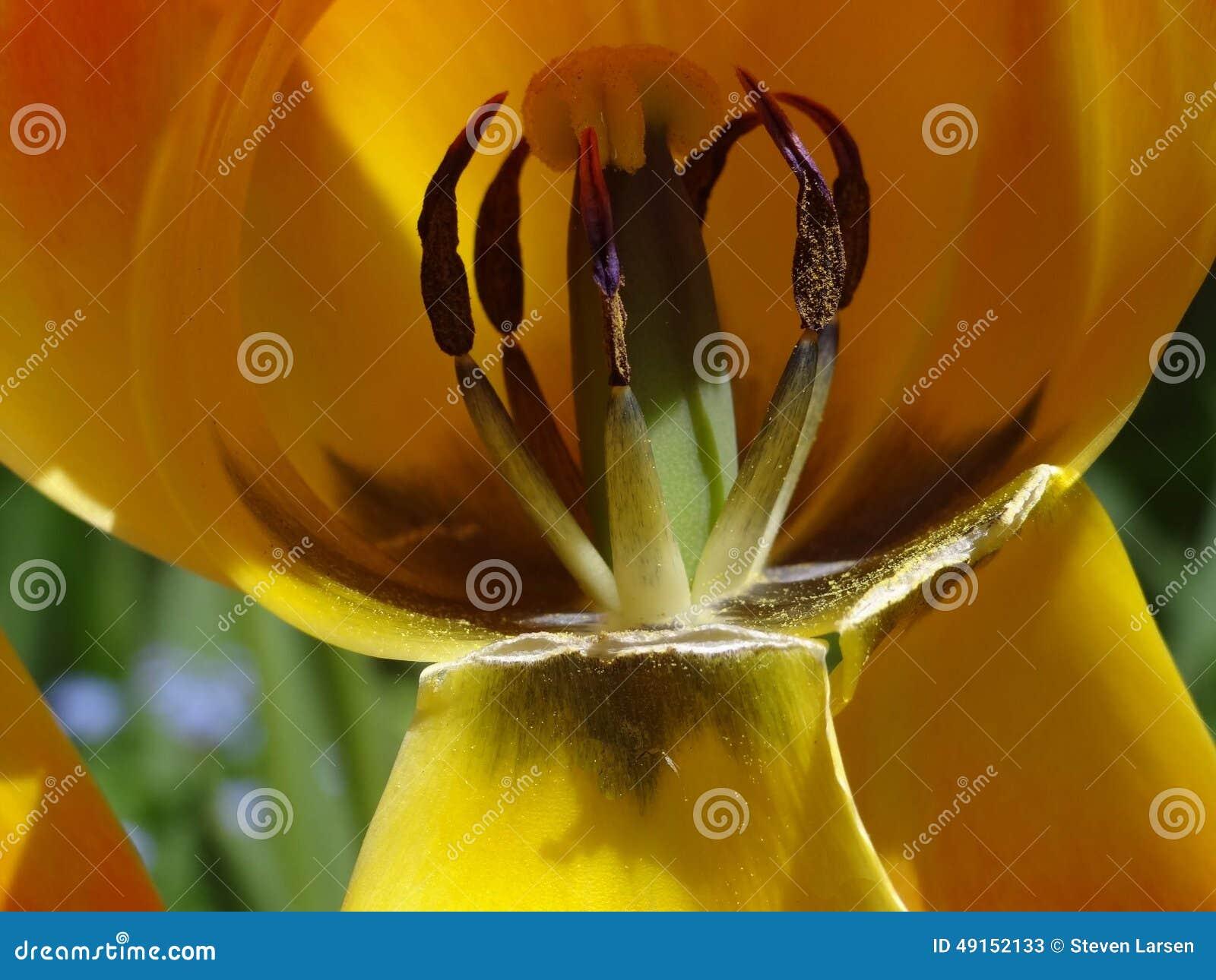 L 39 int rieur de la fleur de tulipe photo stock image 49152133 - Interieur d une fleur ...