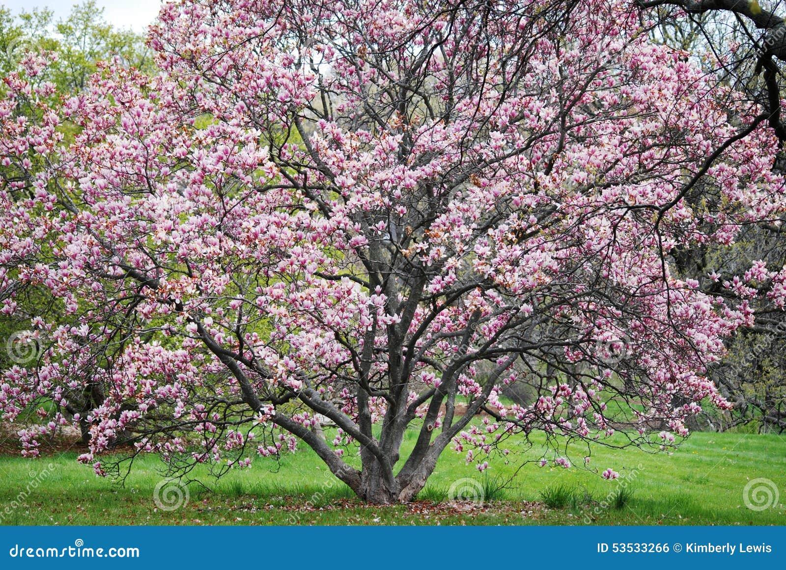 À pleine vue de l arbre fleurissant rose chez Morton Arboretum dans Lisle, l Illinois