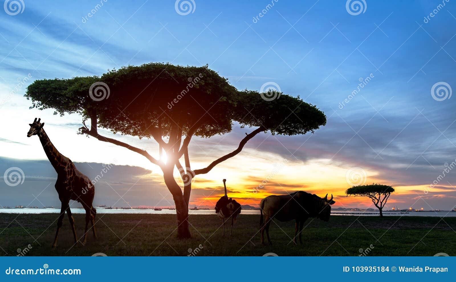 África do Sul da cena africana do safari da noite da silhueta com animais dos animais selvagens