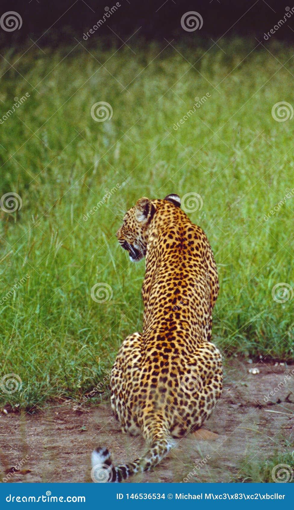 África do Sul: Leopardo na reserva do jogo de Shamwari na província de cabo oriental