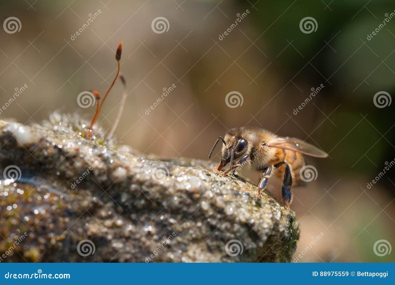 Água das bebidas das abelhas