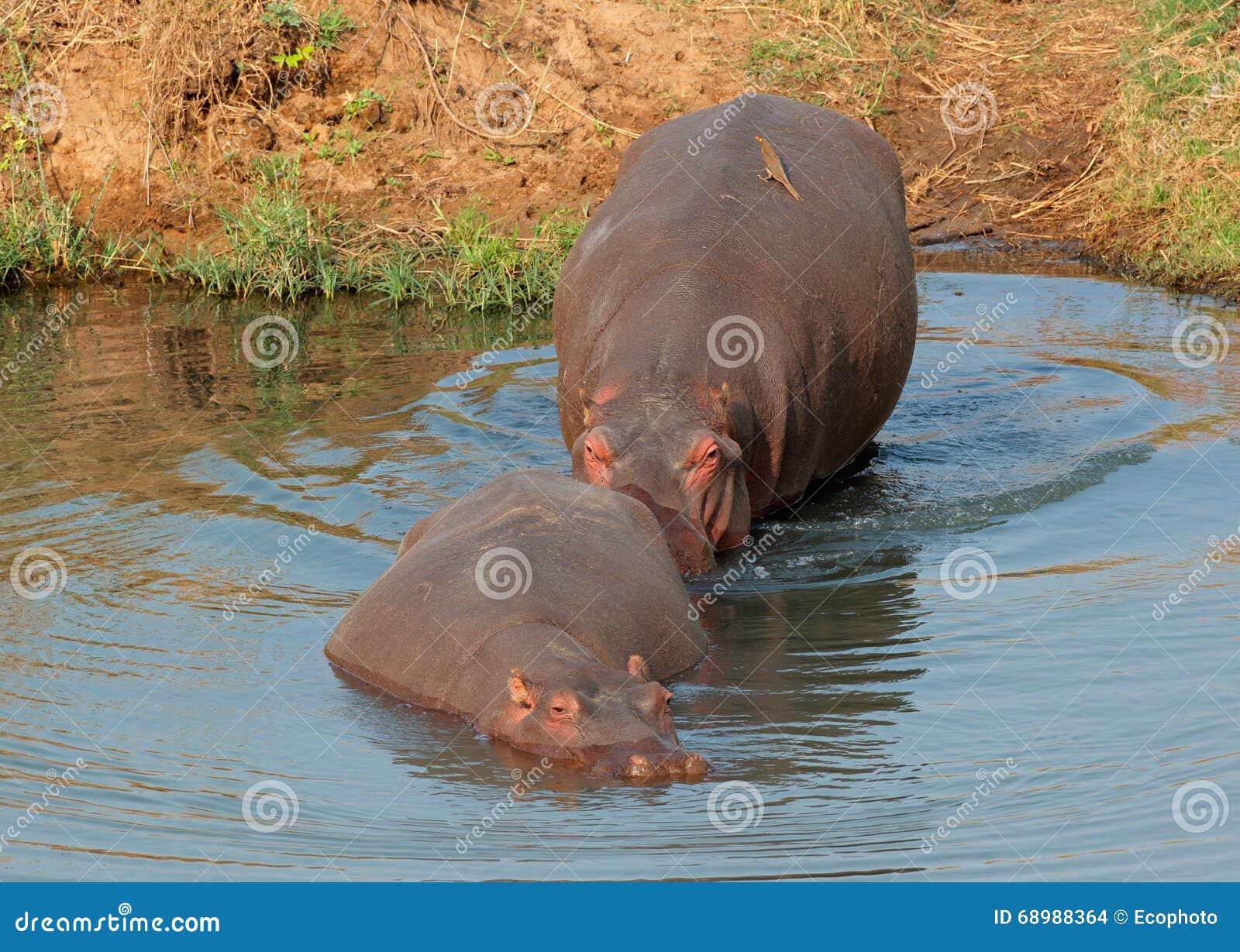 Água entrando do hipopótamo