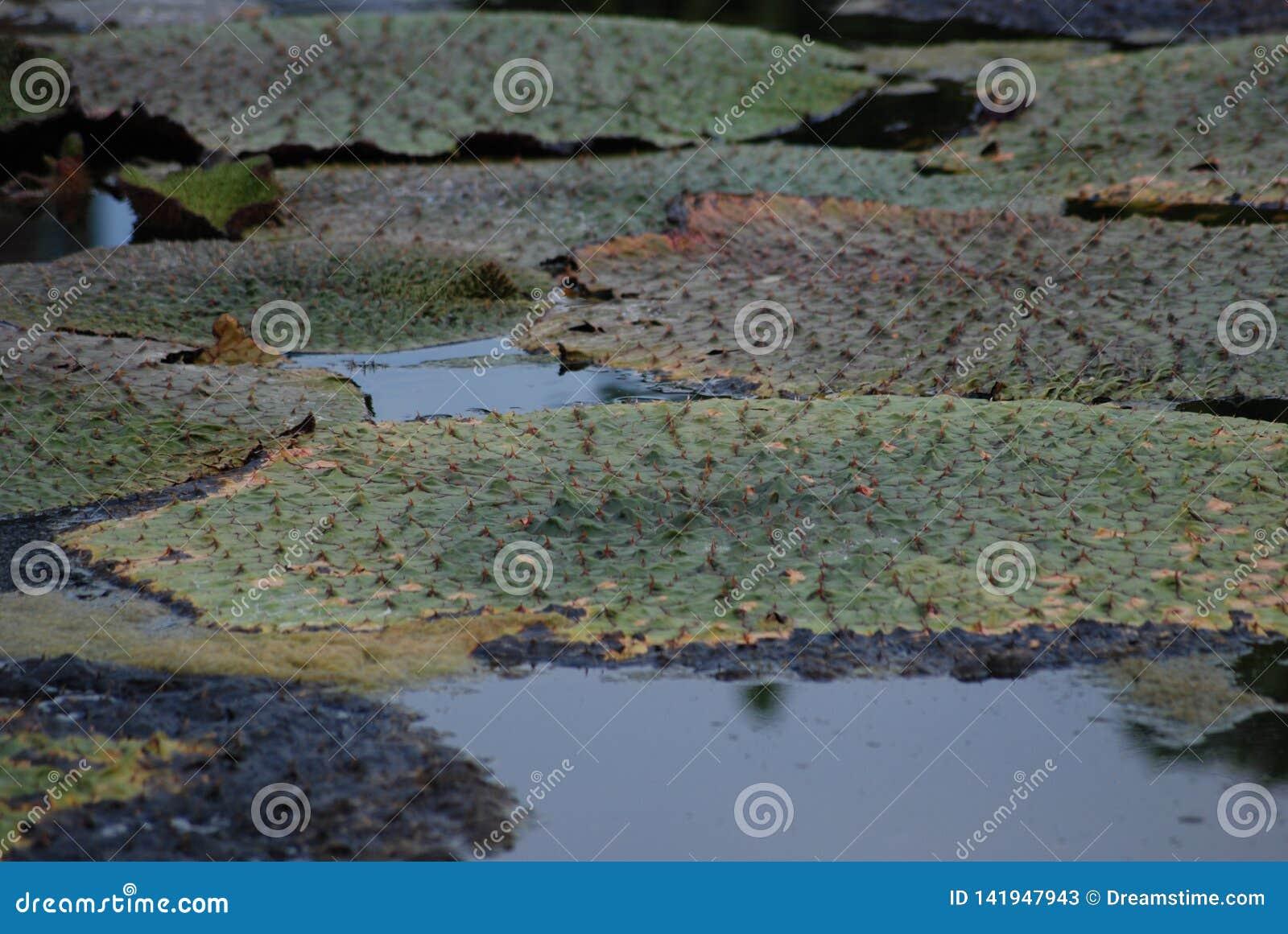 Água espinhosa Lily Euryale Leaves Floating na lagoa