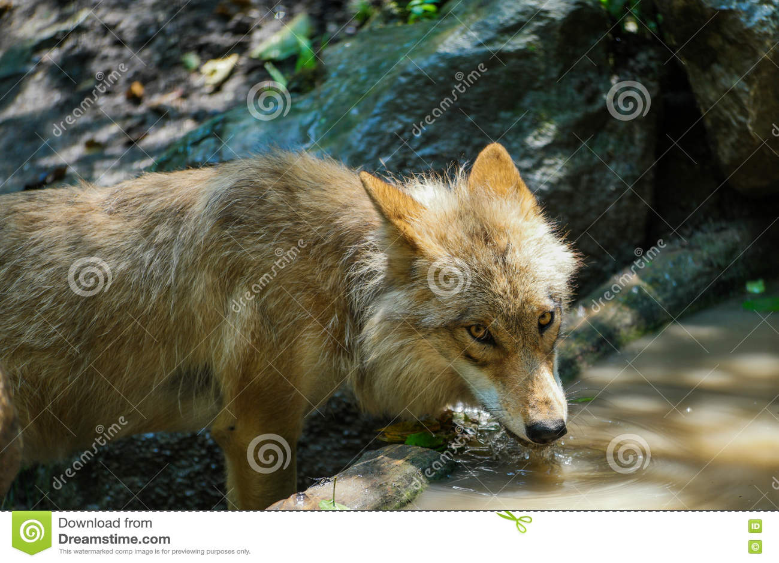 Água potável do lobo da lagoa