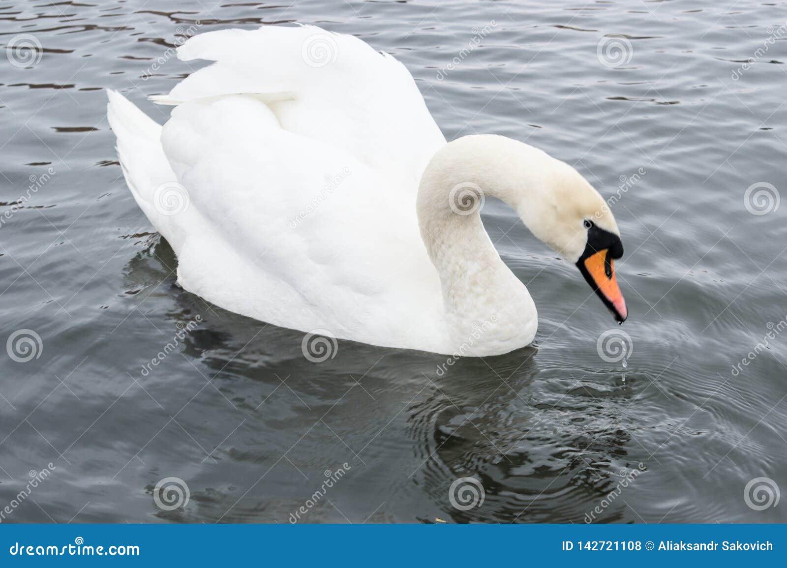 Água potável mágica branca da cisne