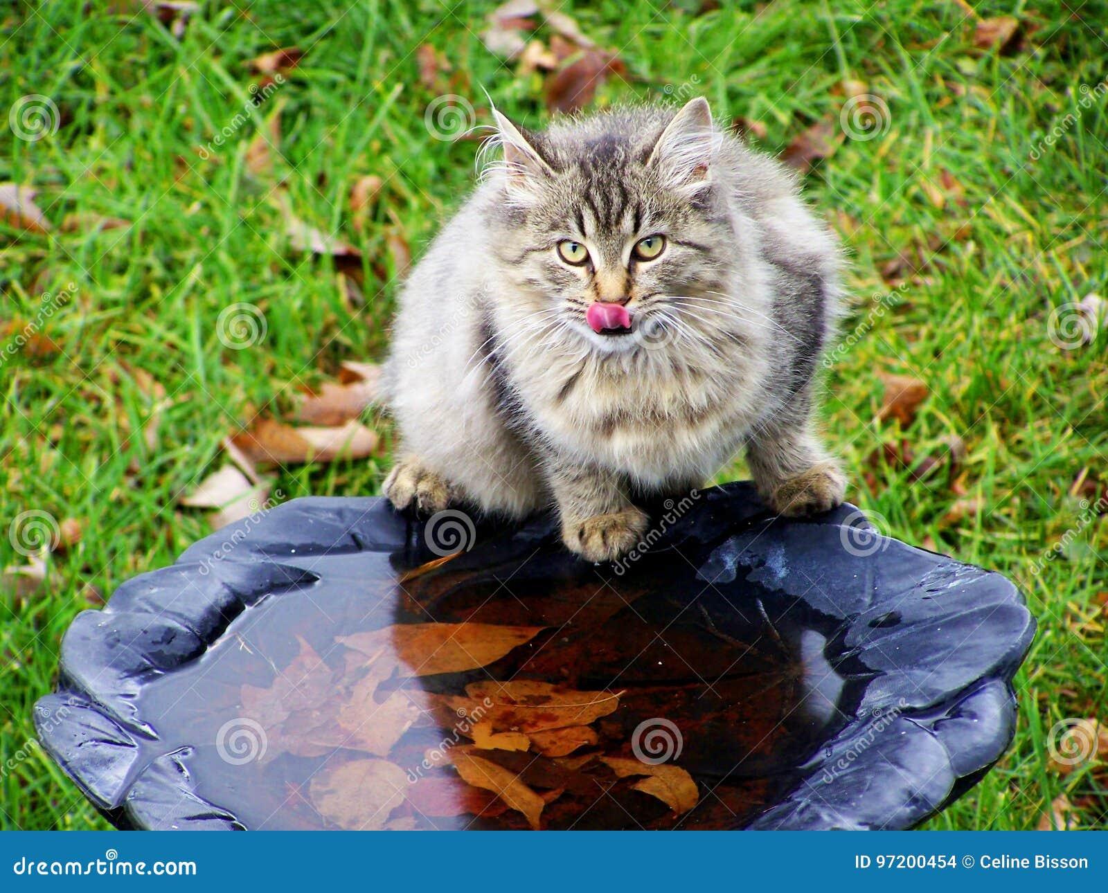 Água potável selvagem do gato no banho do pássaro