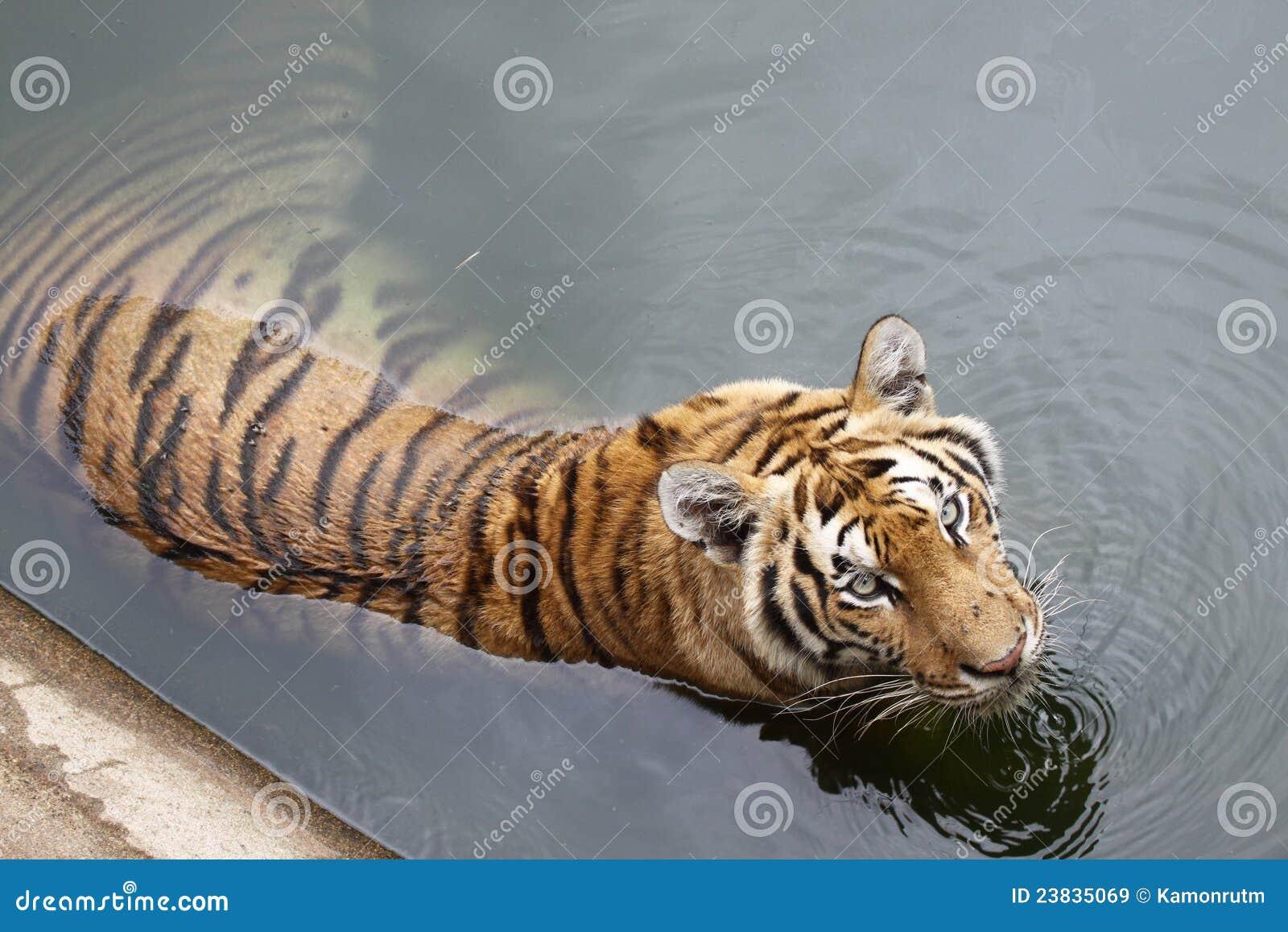 A água quente do tigre embebe
