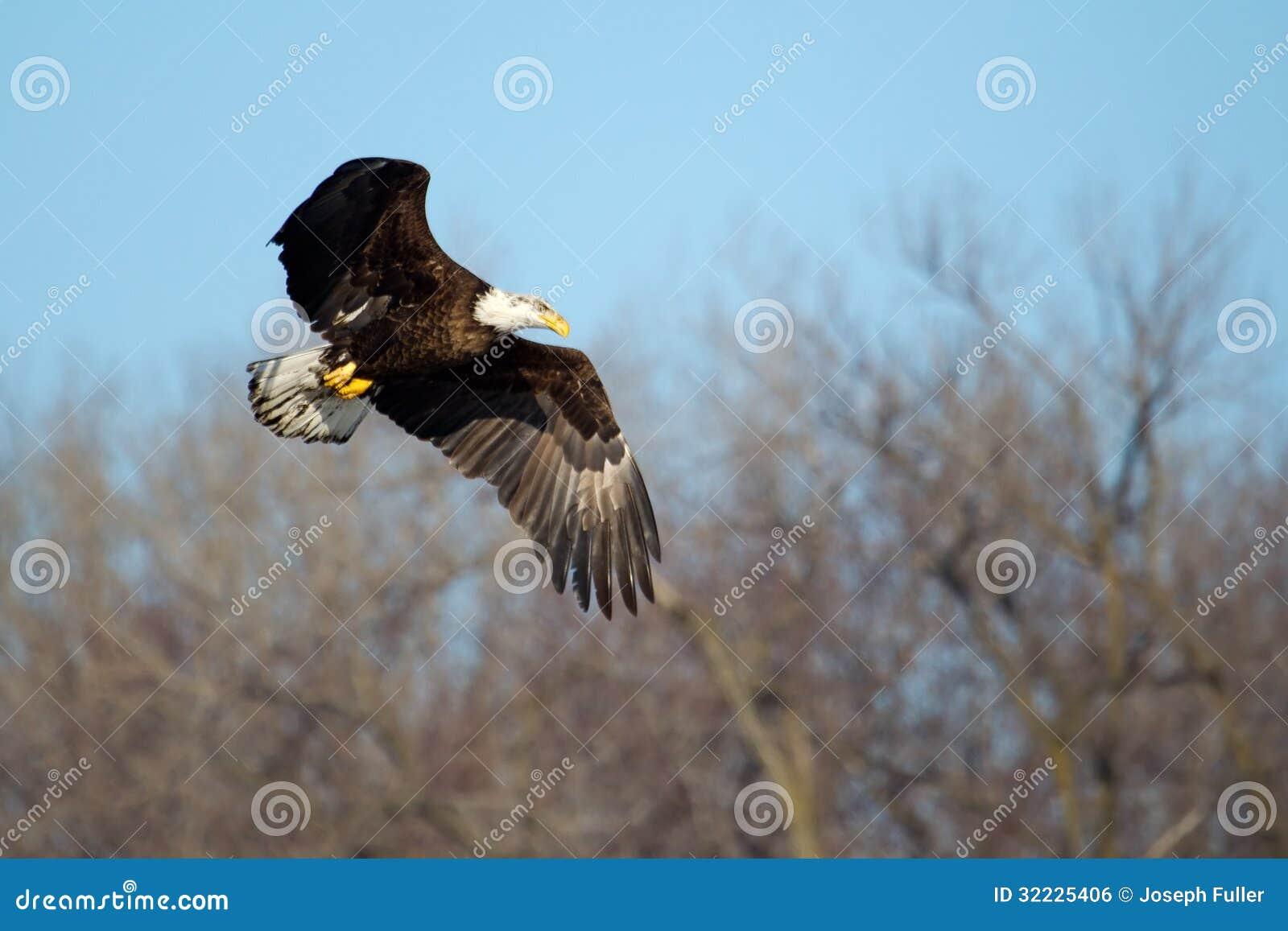 Download Águia Americana Americana Em Voo Foto de Stock - Imagem de pássaro, rapina: 32225406