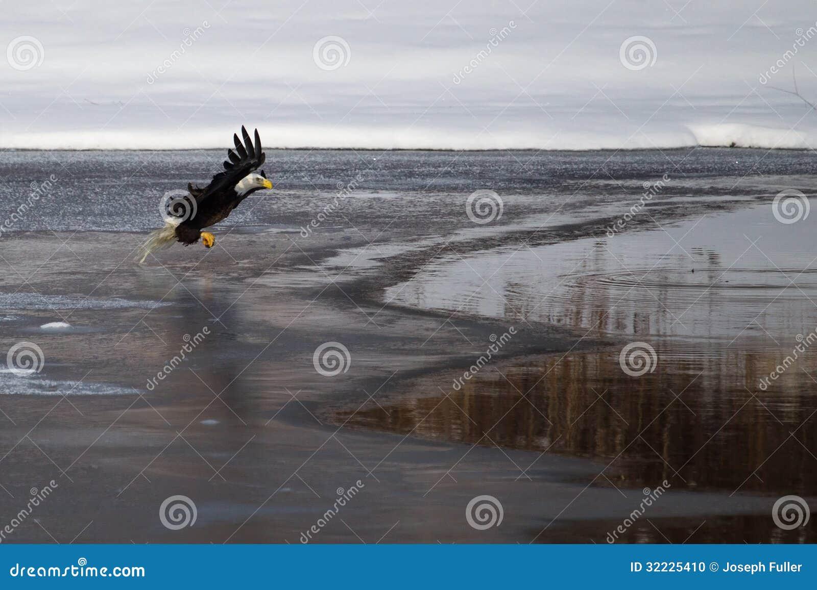 Download Águia Americana Americana Em Voo Foto de Stock - Imagem de bico, raptor: 32225410
