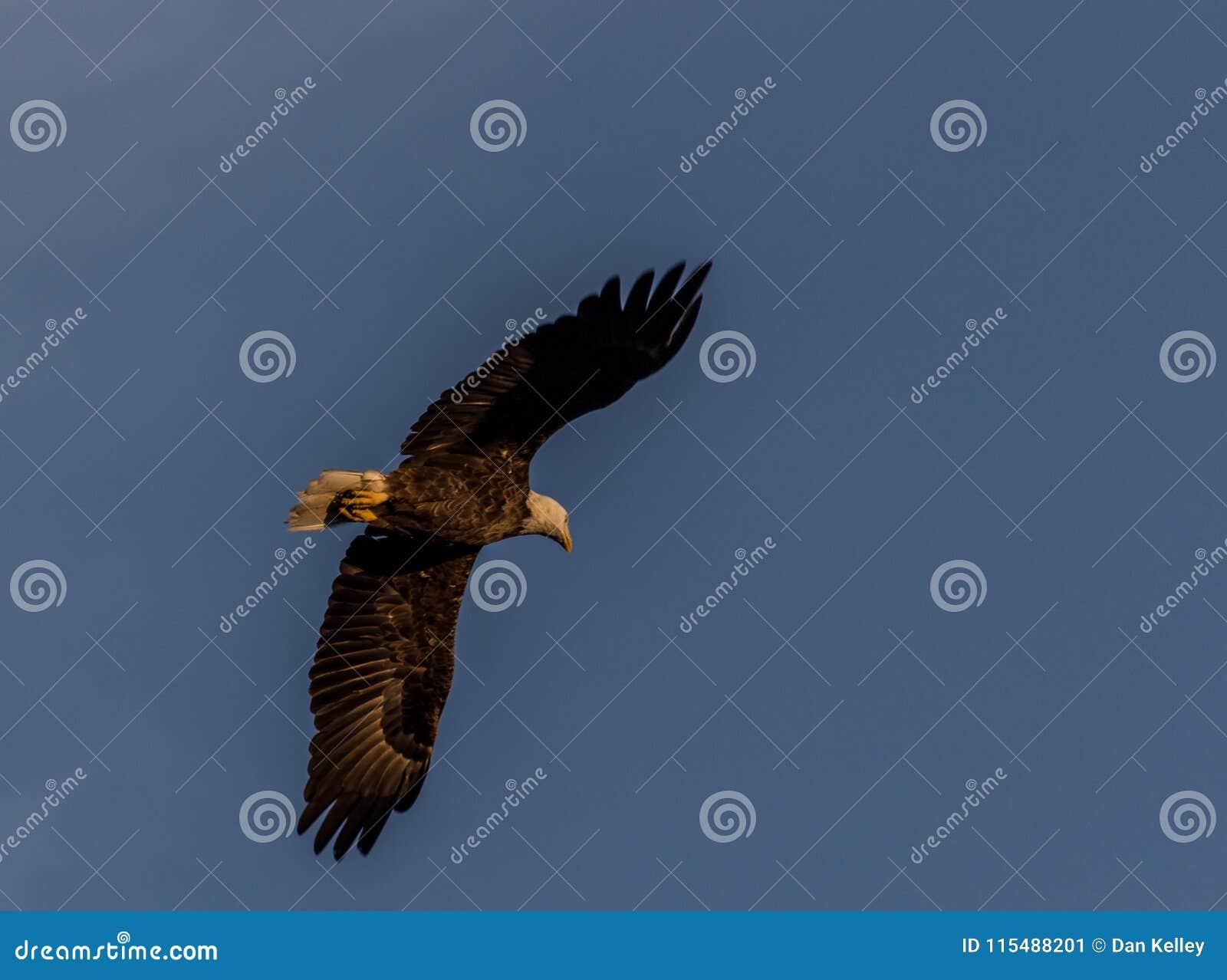 Águia americana americana na costa do golfo de Florida
