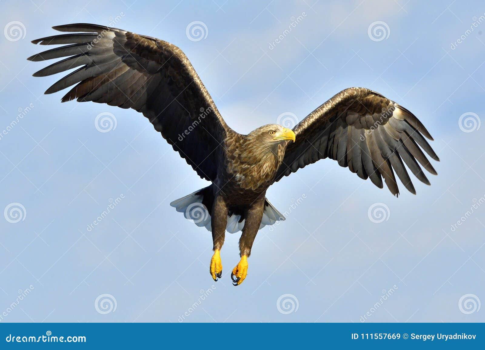 águia Branco-atada em voo, pescando O adulto branco-atou o albicilla do Haliaeetus da águia, igualmente conhecido como o ern, ern