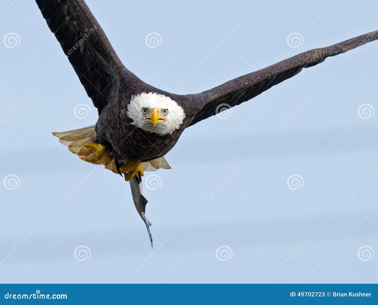 Águia calva americana