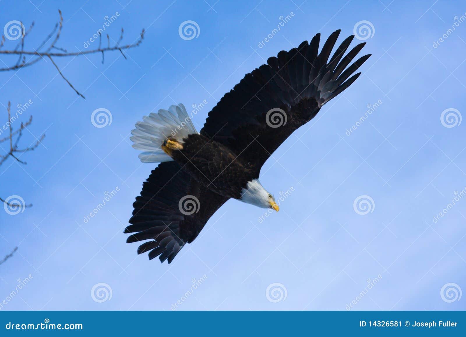 Águia calva americana no vôo