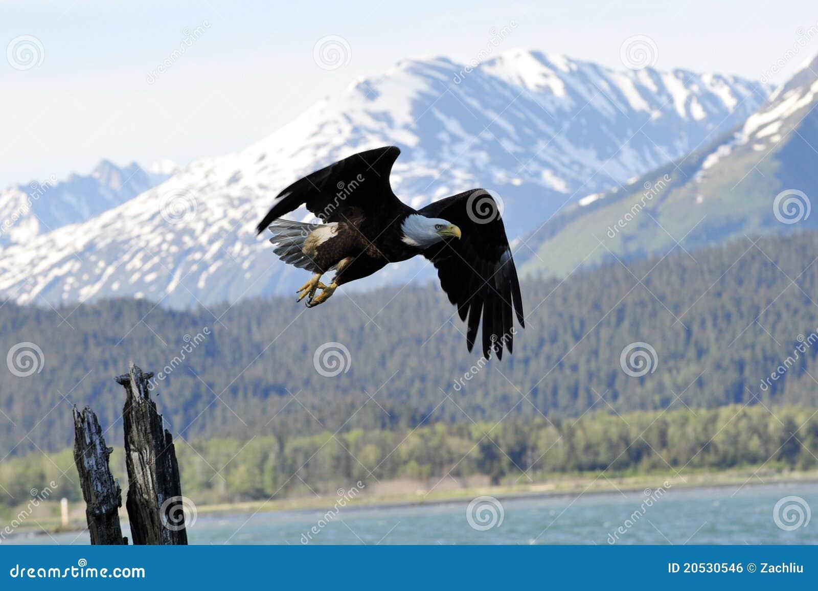 Águia calva em Alaska
