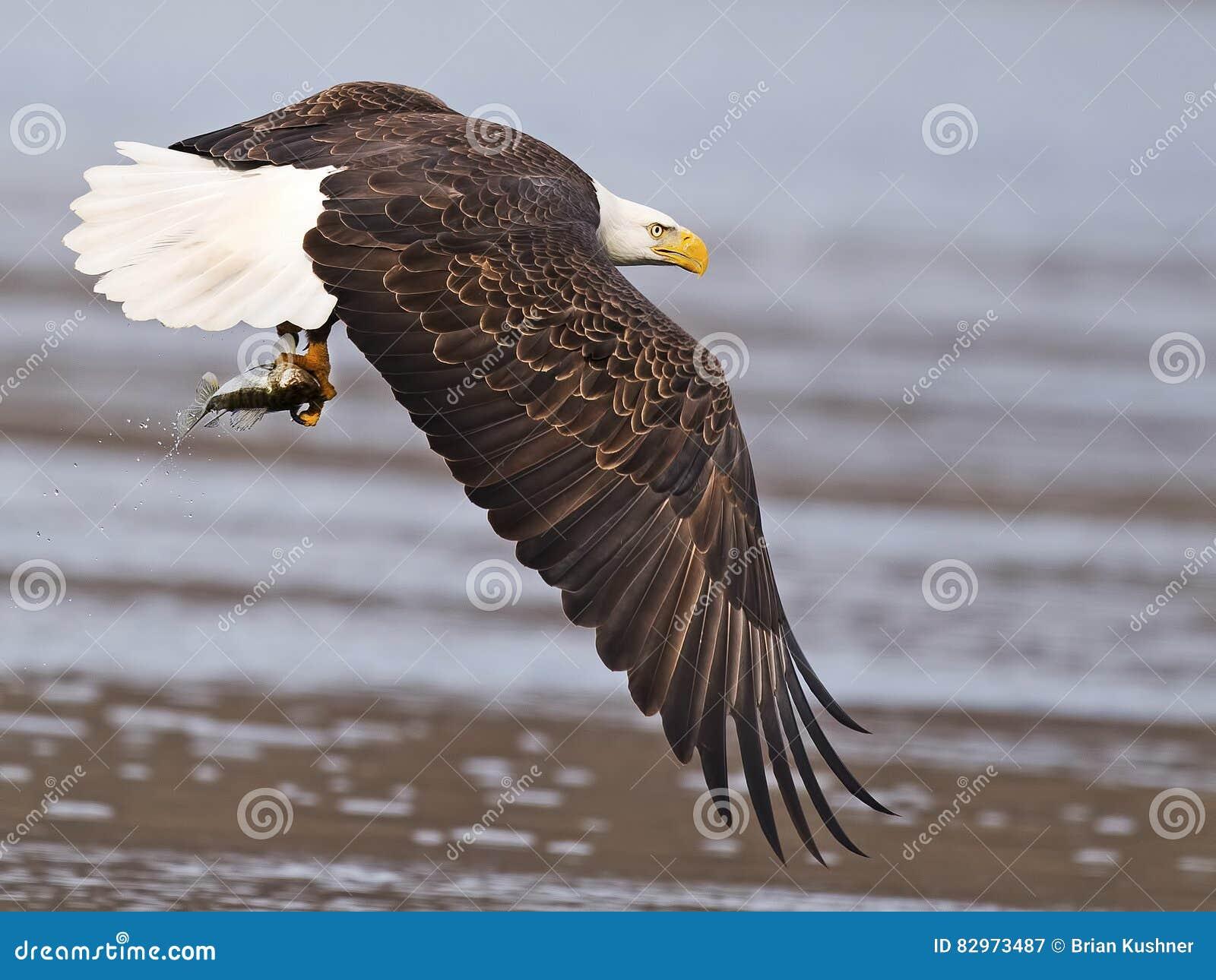 Águia calva no vôo com peixes