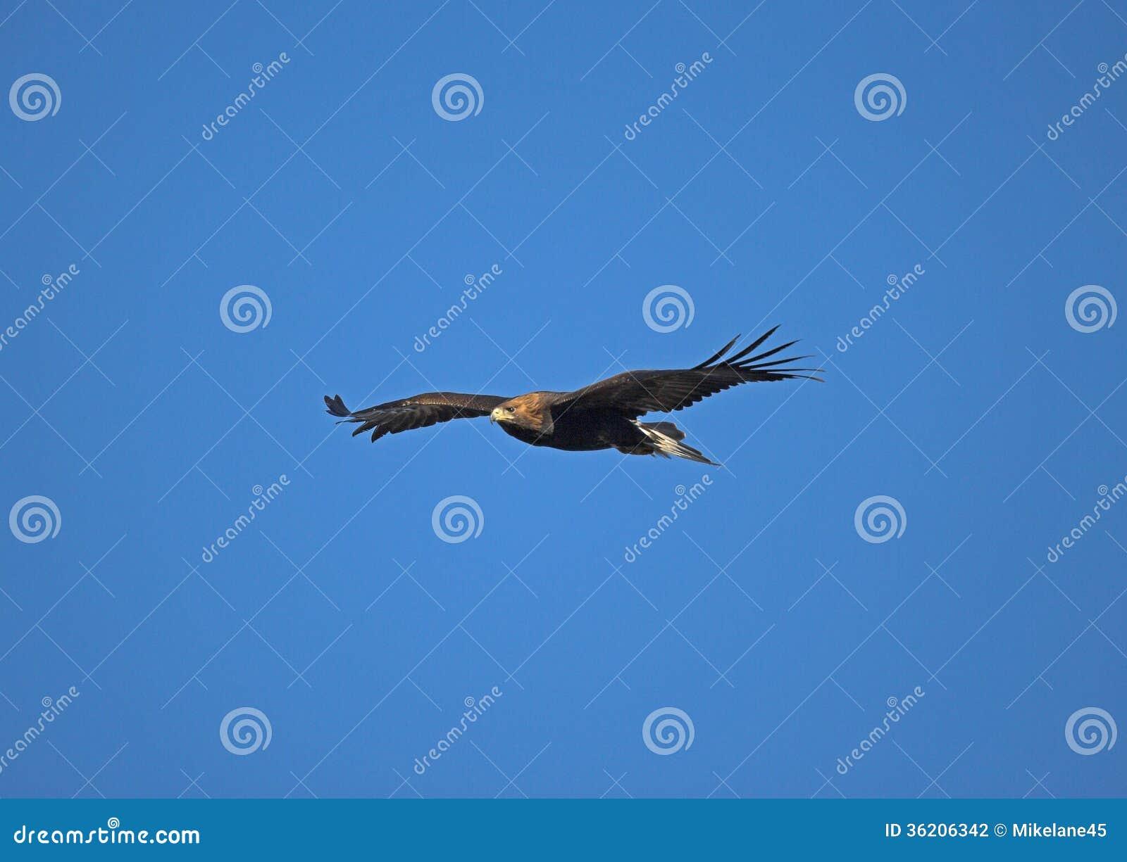 Águia dourada, chrysaetos de Aquila