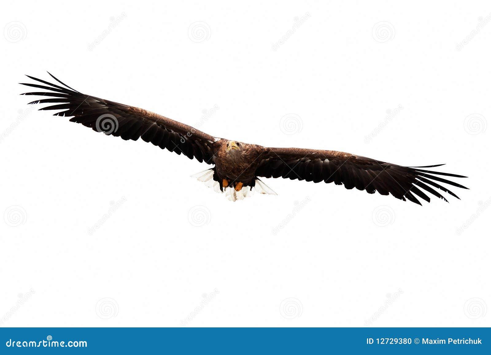Águia dourada de voo