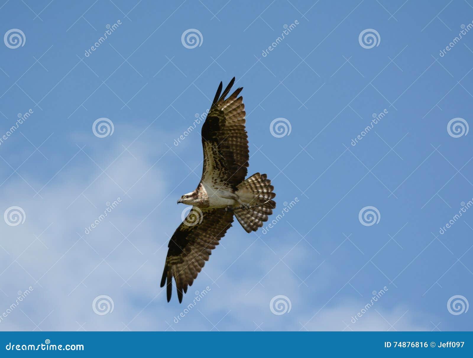 Águia pescadora alta do voo