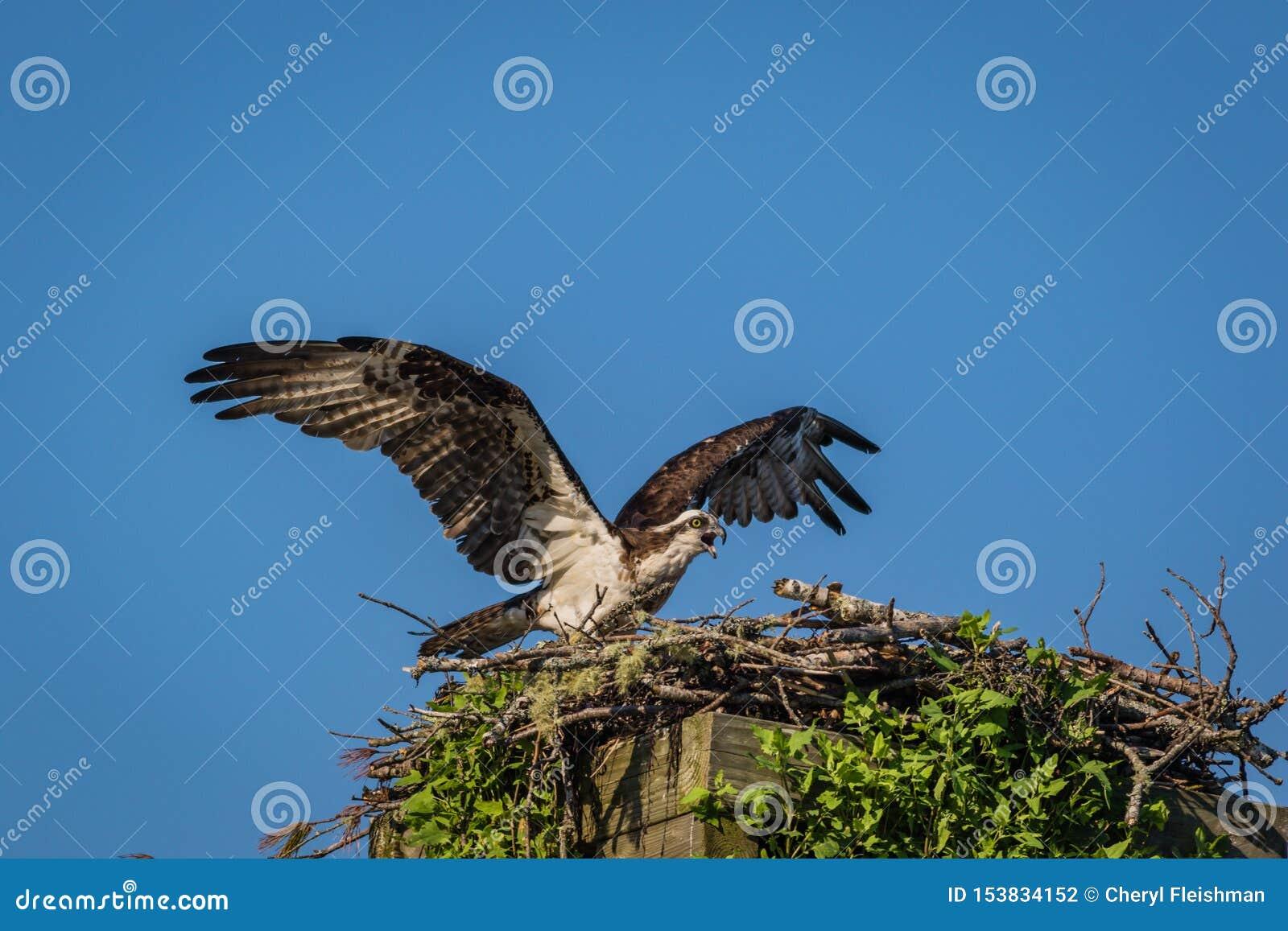 Águia pescadora em uma manhã clara do verão com céus azuis que decola da caixa-ninha