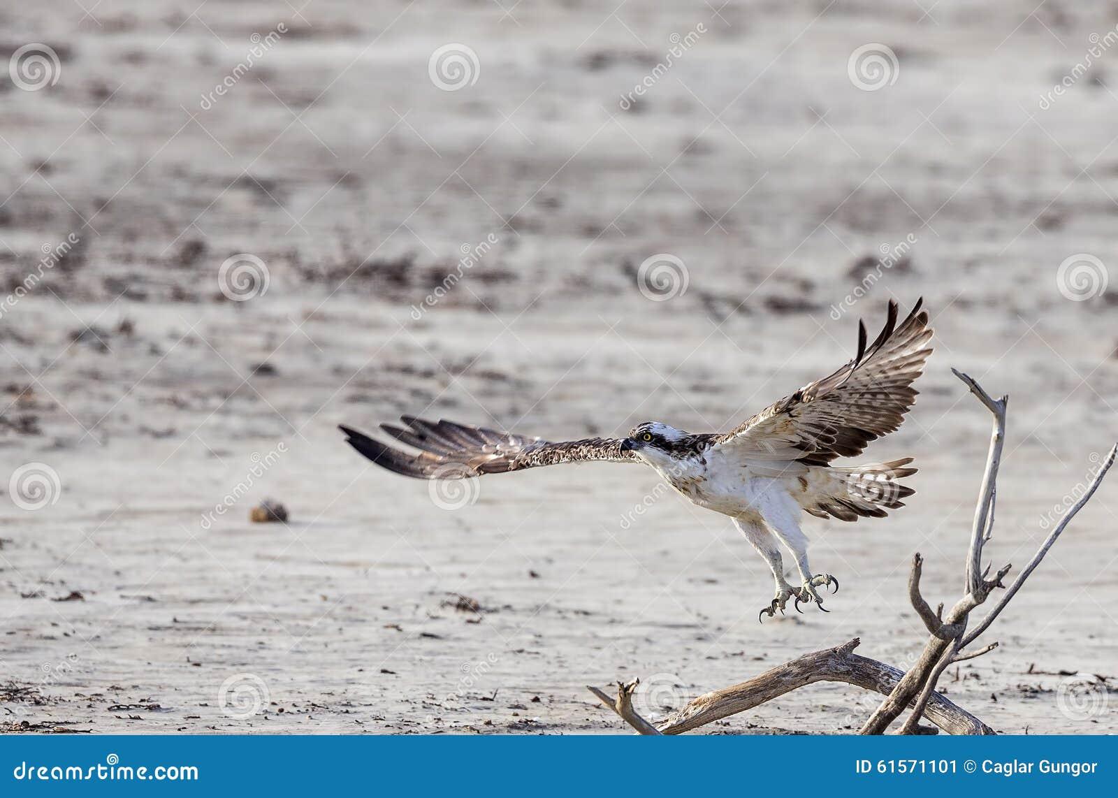 Águia pescadora em voo