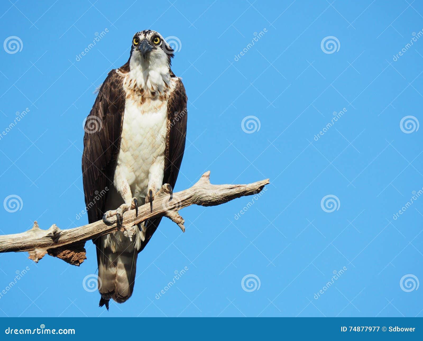 Águia pescadora madura empoleirada em um membro de árvore inoperante