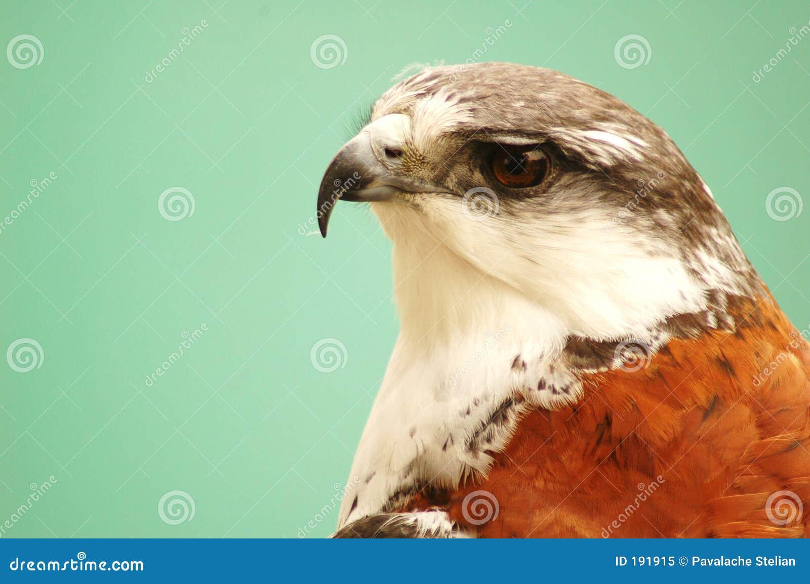 Águila #3