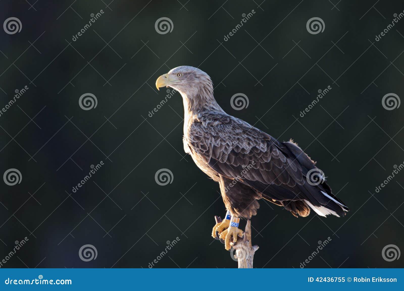 águila Blanco-atada