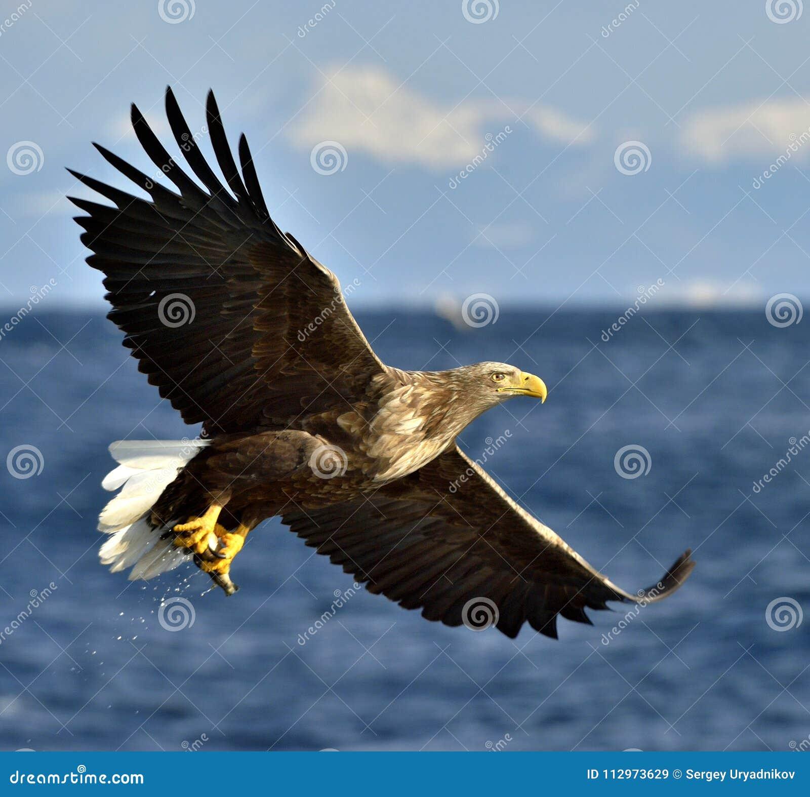 Águila blanco-atada adulto en vuelo Nombre científico: Albicilla del Haliaeetus, también conocido como la NRE, erne, águila gris,
