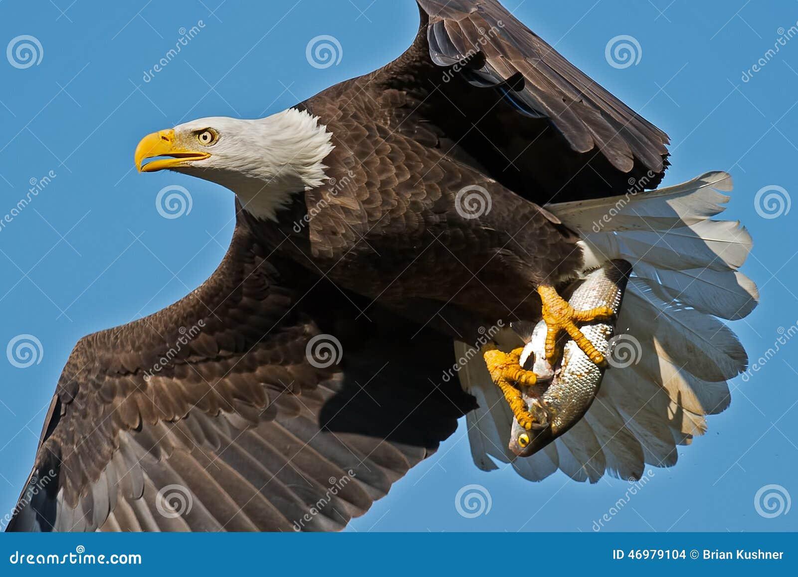Águila calva americana