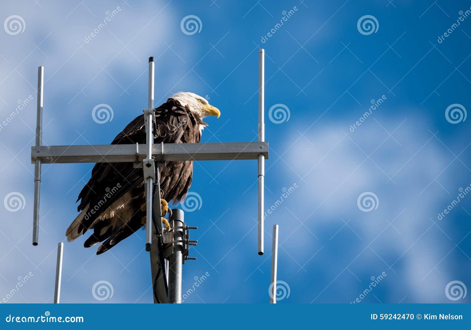 Download Águila Calva Que Guarda Un Ojo De águila Hacia Fuera Foto de archivo - Imagen de águila, radio: 59242470