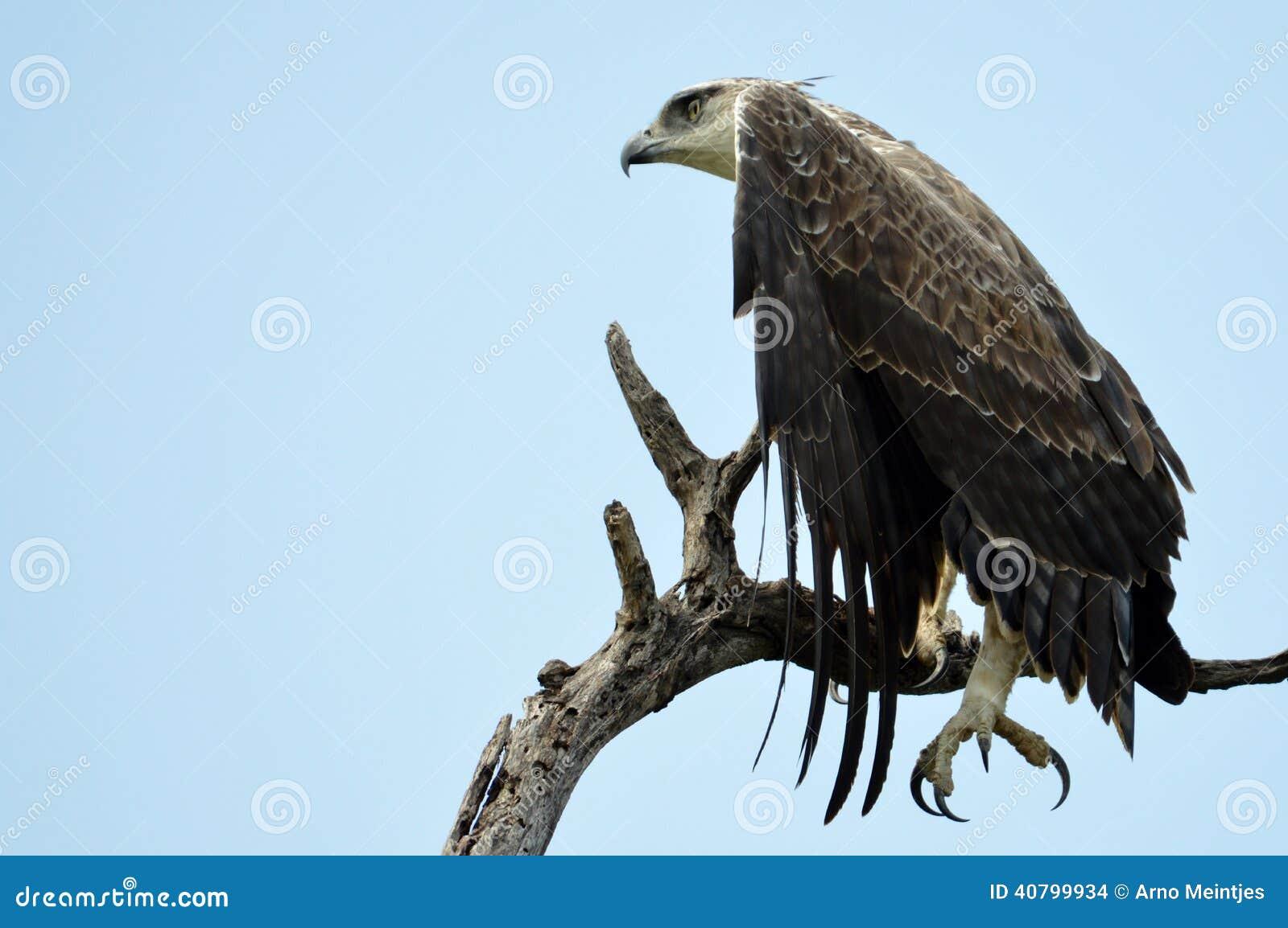 Águila marcial (bellicosus de Polemaetus)