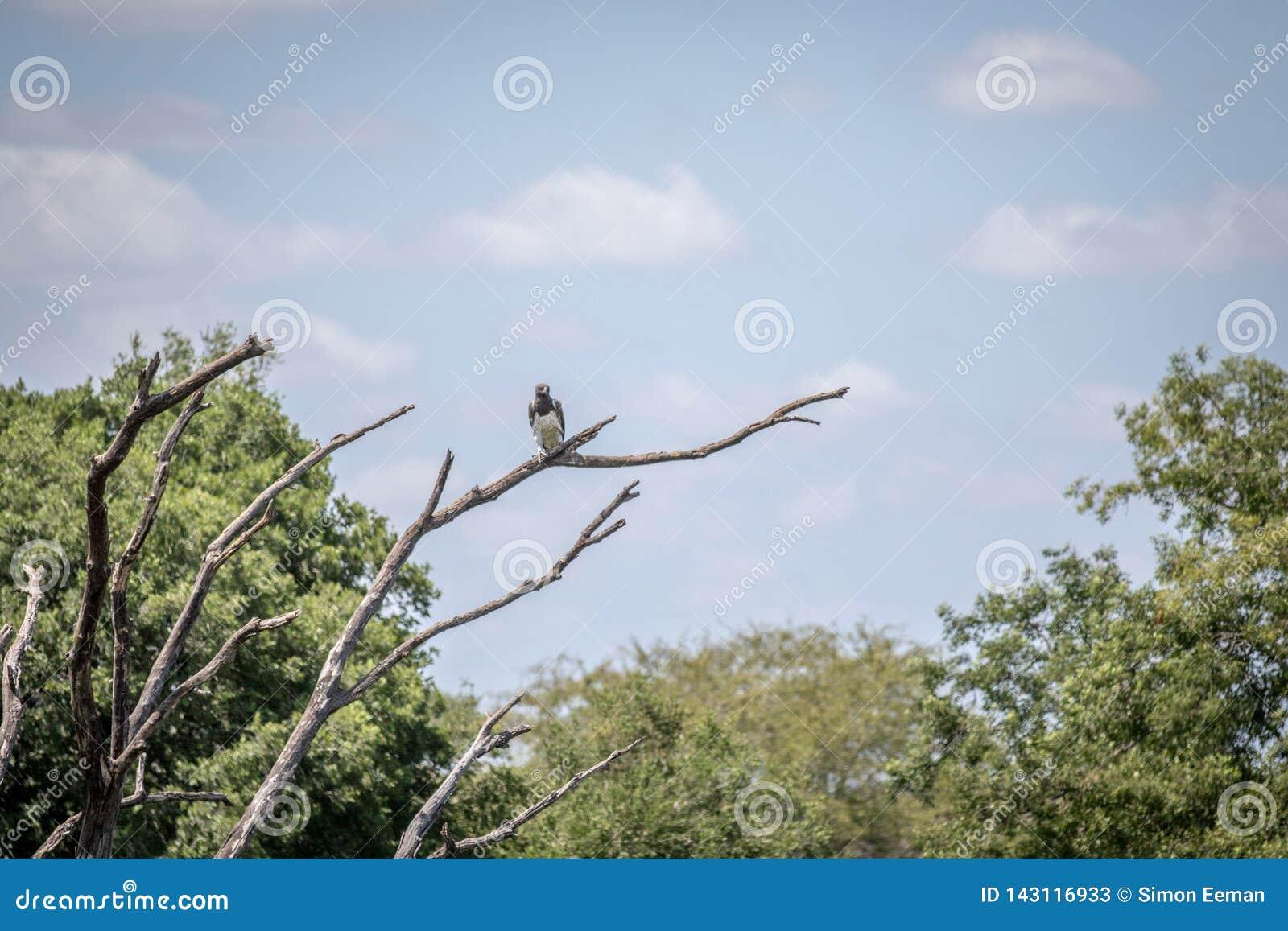 Águila marcial en una rama en el Kruger