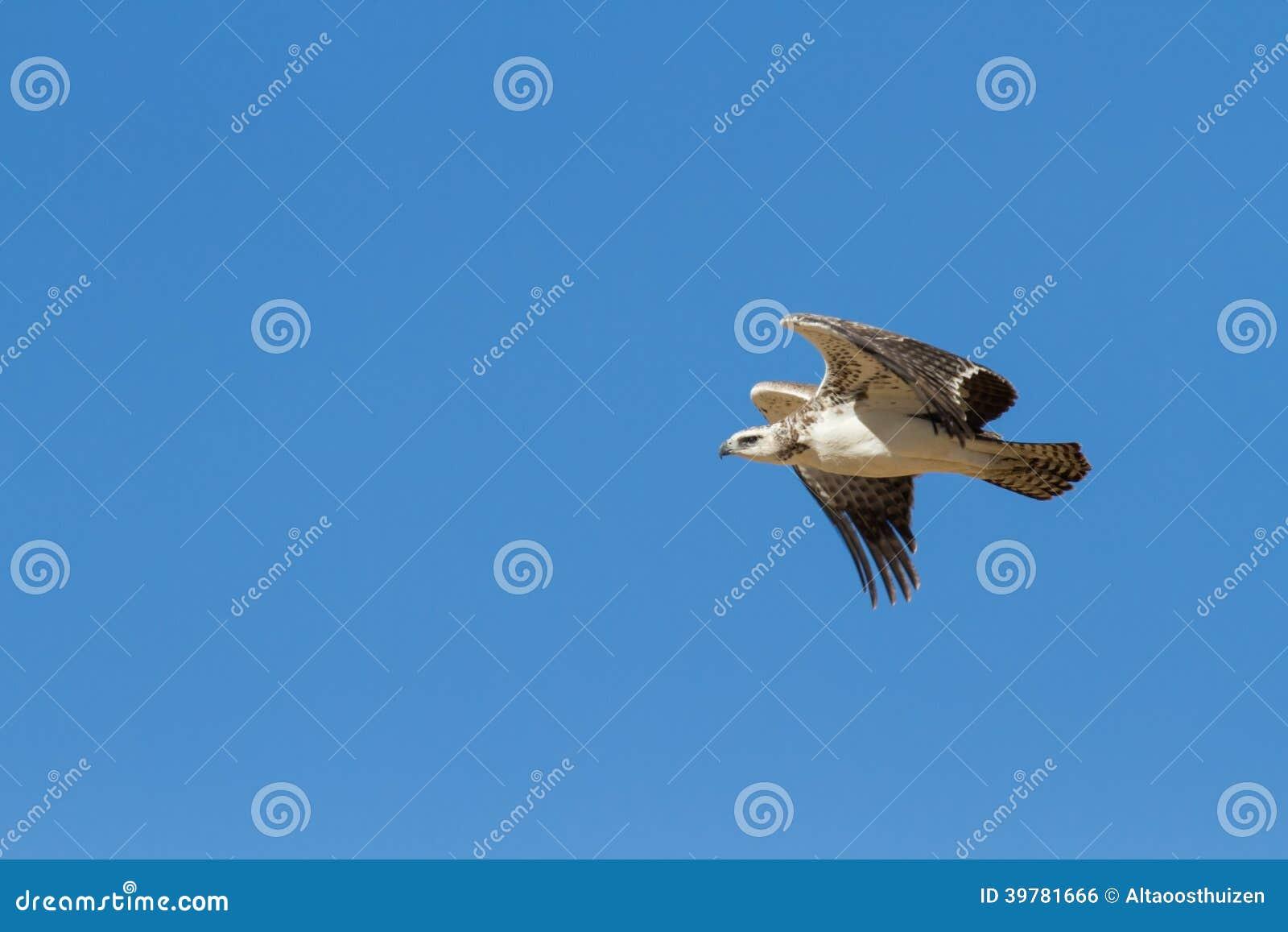 Águila marcial majestuosa juvenil que vuela a una jerarquía en Kalahar azul
