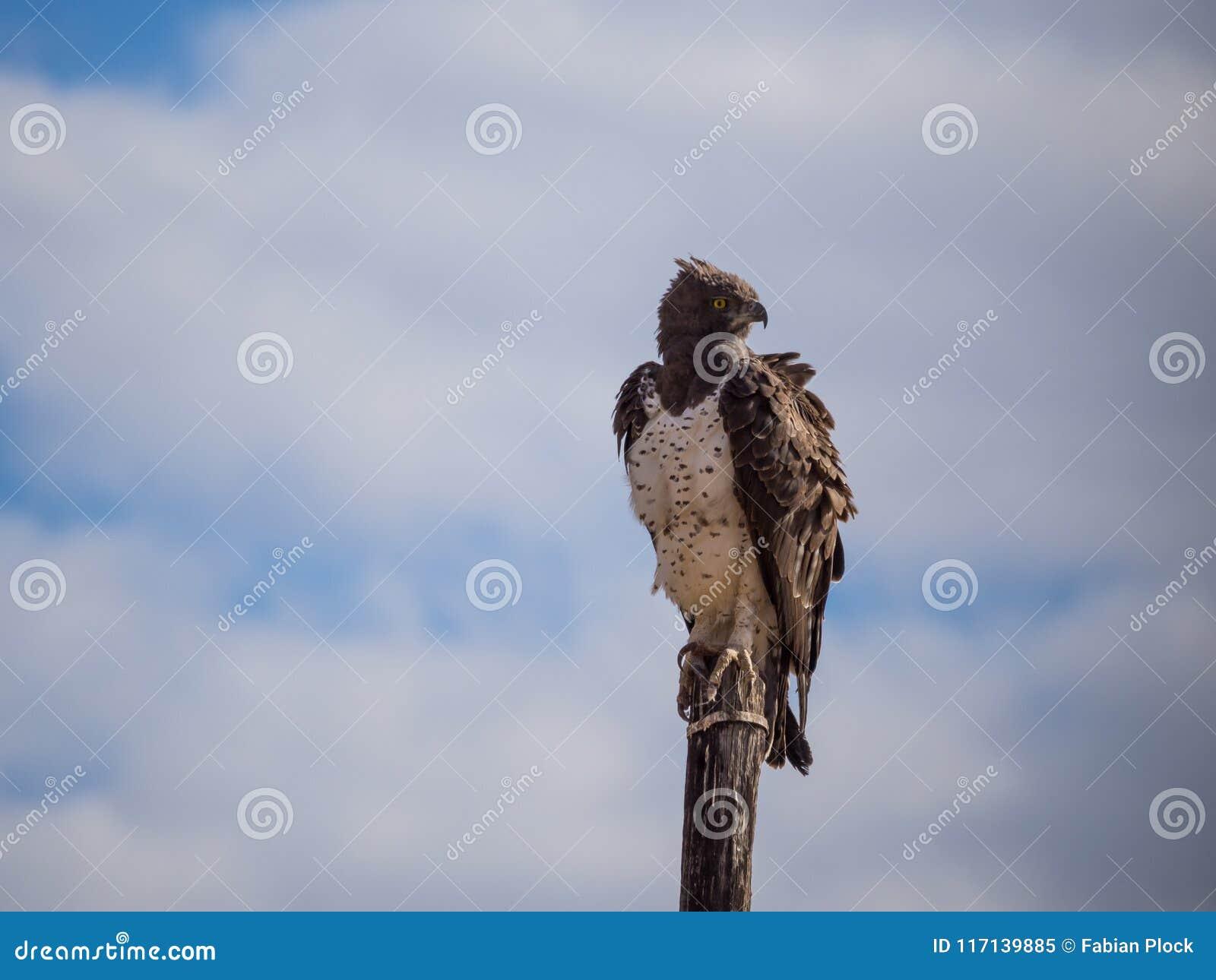 Águila marcial que se sienta en el pilón de madera de la electricidad que mira sobre el hombro, Namibia, África
