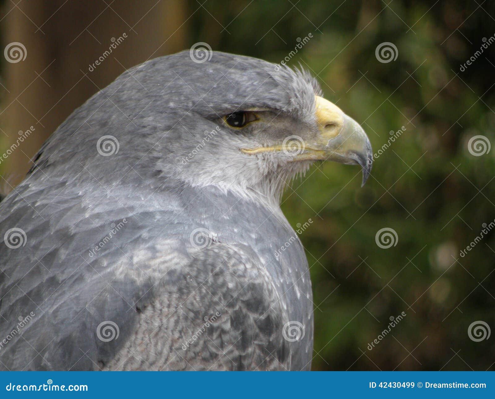 Águila triste en cautiverio