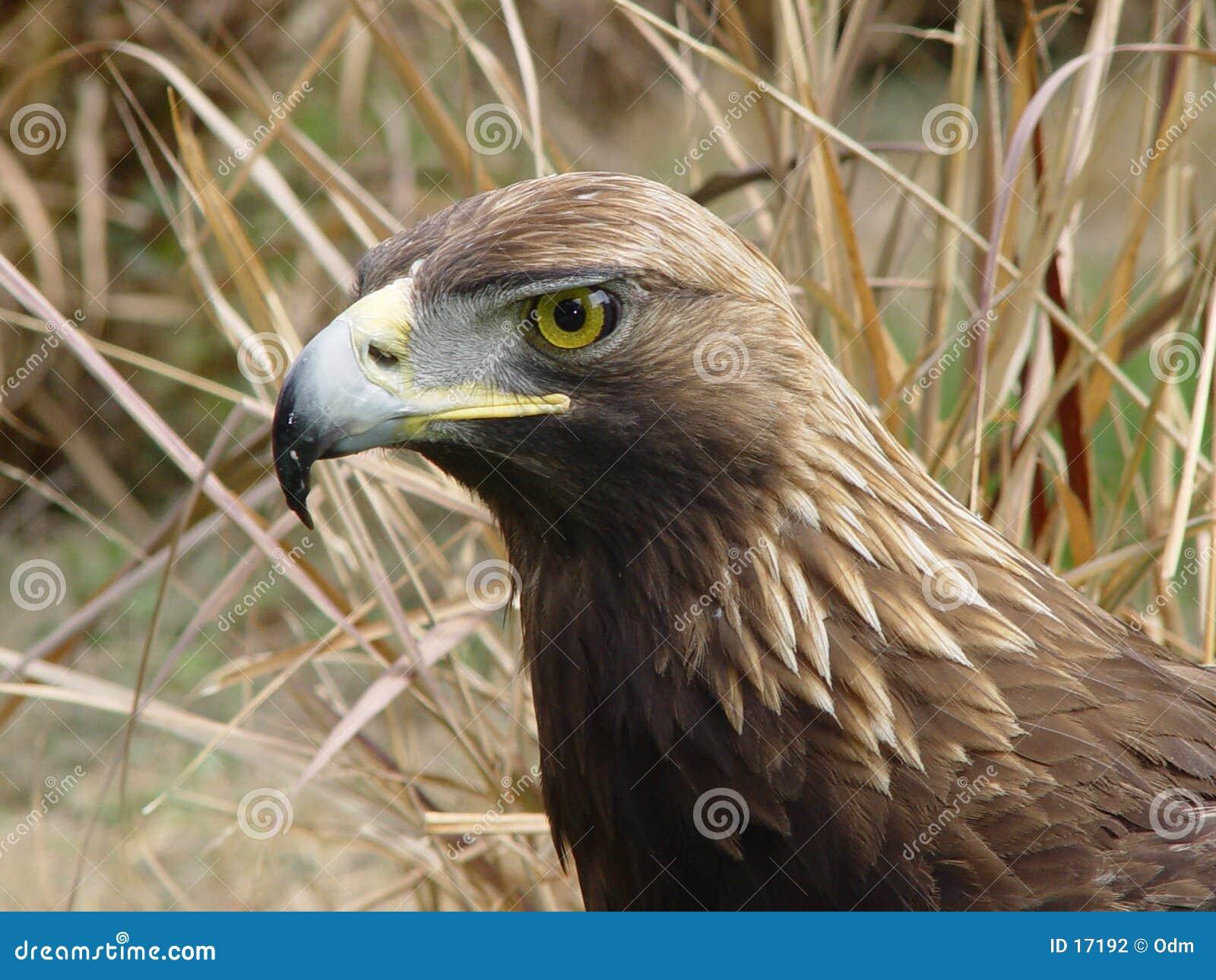 Águila verdadera