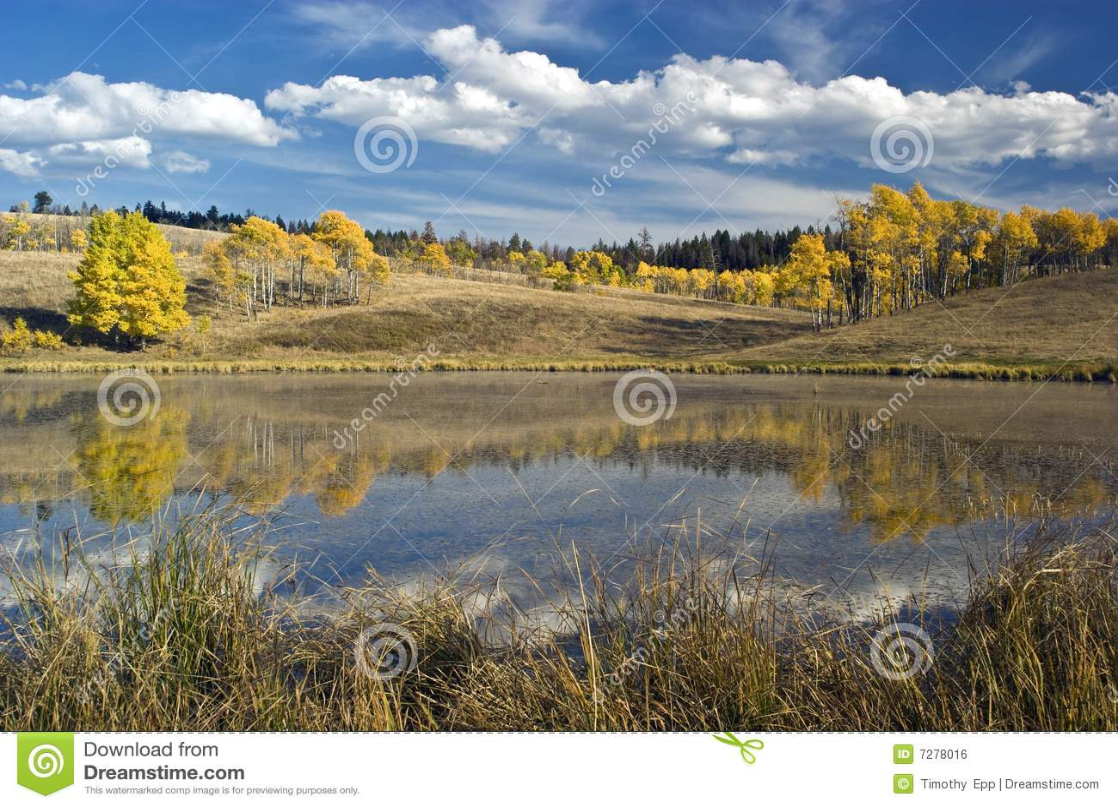 Álamos tembloses del otoño